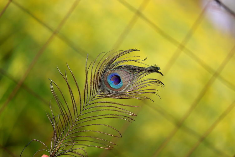 Detailed male peacock feather macro shot with green grass blur gradient background
