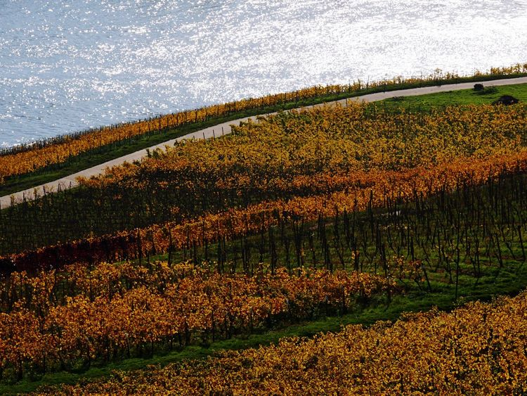 Agriculture Nature Field Beauty In Nature Landscape Growth Rural Scene Outdoors Tranquility Scenics Water Tranquil Scene No People Day Winter Cold Temperature Snow Tree Freshness Rüdesheim Am Rhein Winefields Wine Country Yellow Tranquility Pattern