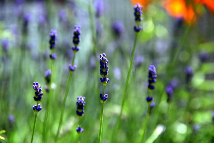 Selective focus on lavender flower in the garden