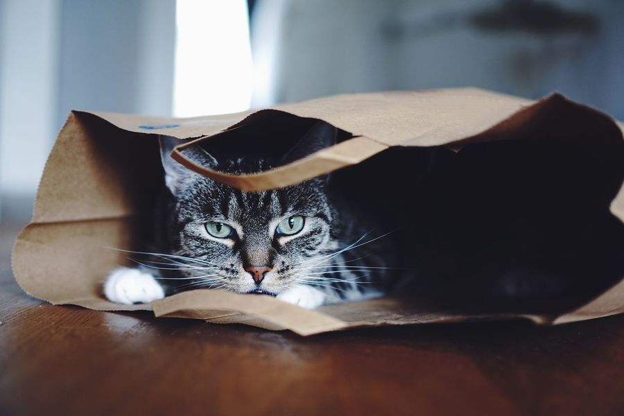 Face Portrait Photography The Portraitist - 2018 EyeEm Awards EyeEm Selects Cat Domestic Cat Pets Domestic Feline Animal Themes Mammal Animal Domestic Animals One Animal Vertebrate Indoors  No People Looking At Camera Portrait Home Interior Close-up Day Whisker Furniture