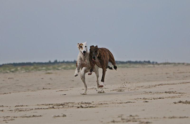 Horse running on beach against clear sky