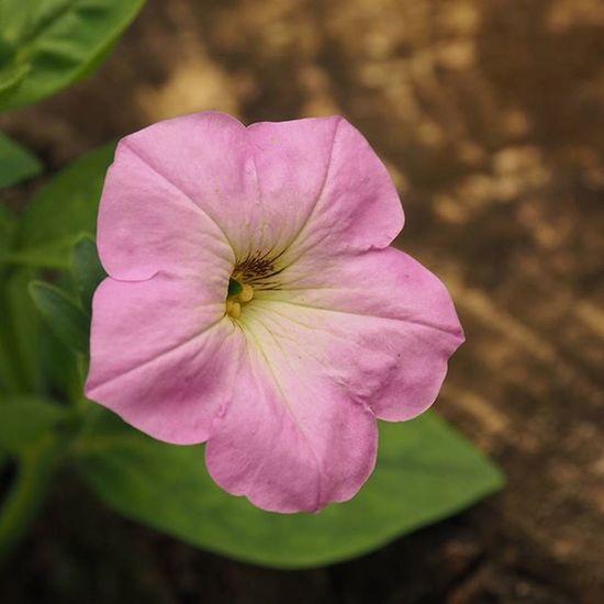 Garden Kert Virag Flowers Petunia Petunia Természet Nature