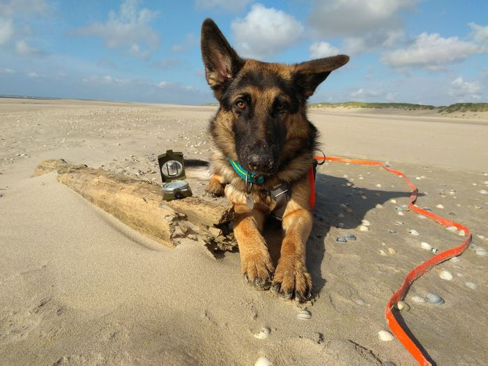 Kompass Schäferhund Hund Texel  Holland Niederlande Netherlands Nature Natur OutOfHome Outdoor Northsea Nordsee Pets Sand Dune Beach Sea Dog Sand Portrait Sky German Shepherd Ear