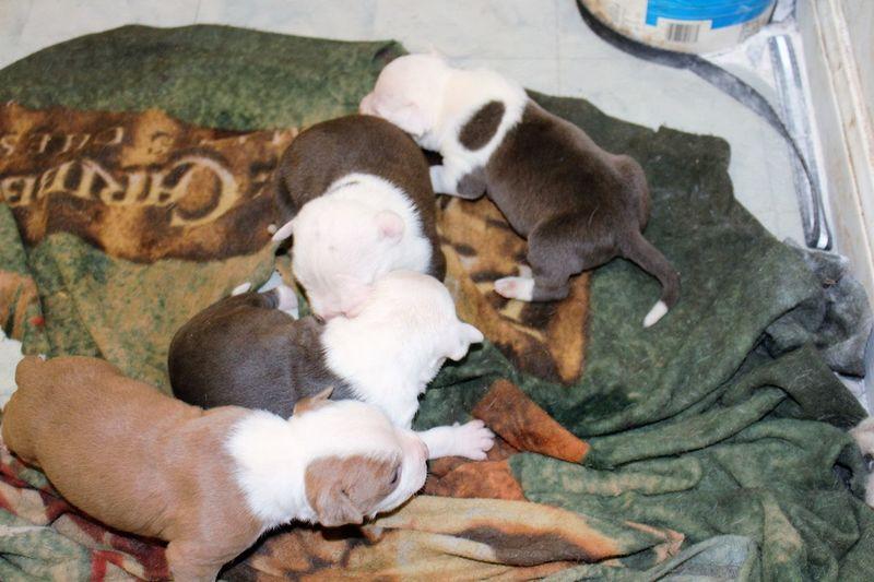 Puppies Puppies! Puppies :) Puppies👌😍😍✌❤💗😜👍 Puppies Of Eyeem Puppiesforsale Puppies😍 Puppies ✌ Staffordshire Bull Terrier Staffy Staffordshirebullterrier Staffybull Staffylove Showing Imperfection