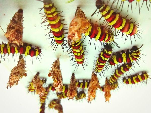 Pupa Caterpillar Yellow Orange Color Caterpillars