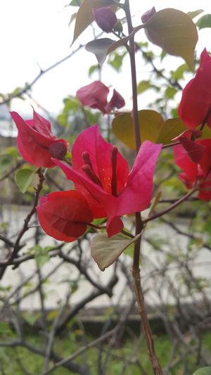 bougenville Merah Hiasan Taman Bunga Cantik Bunga Kertas Bougainvillea Flower Red Pink Color No People Plant Leaf Day