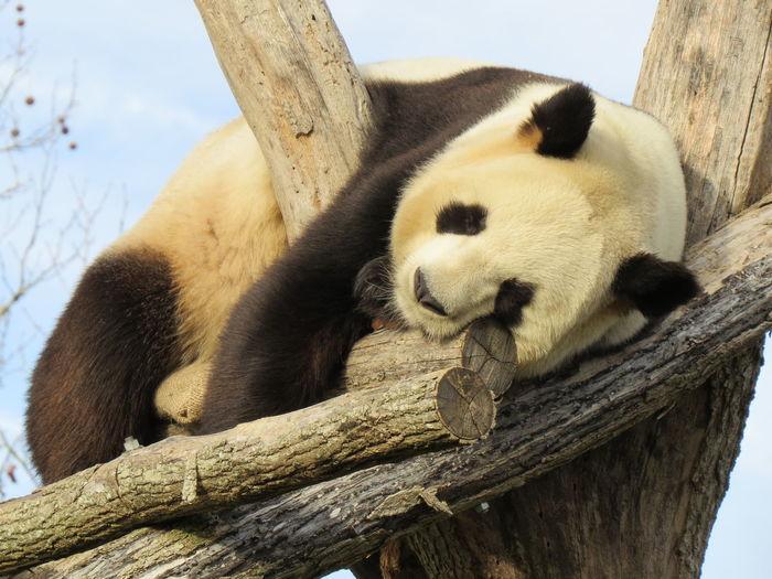 Low angle view of panda sleeping on wood