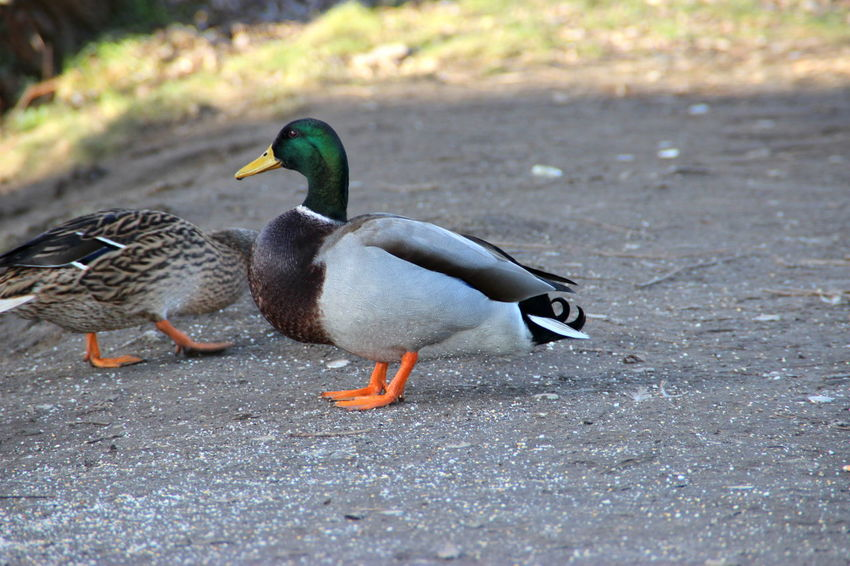 Animal Animal Themes Bird Day Duck Ducks Ente Enten Erpel Nature No People Outdoors Tiere