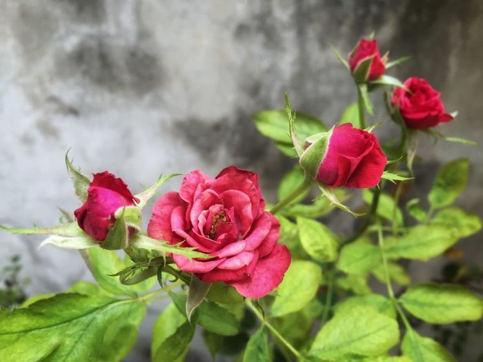 Rose Flower Flowering Plant Plant Beauty In Nature Rosé Fragility Vulnerability  Petal Rose - Flower Pink Color Red Flower Head Nature Freshness Growth Leaf Focus On Foreground Inflorescence Plant Part Close-up