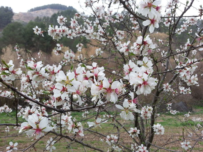 Almond Tree Beauty In Nature Blooming Blossom Branch Cherry Blossom Cherry Tree Close-up Day Flower Flower Head Fragility Freshness Growth In Bloom Nature No People Outdoors Petal Pink Color Plum Blossom Rhododendron Springtime Tree Twig