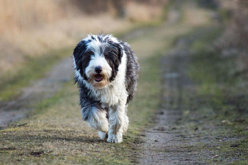 Humans Best Friend Dog Nature Running Bearded Collie Enjoying Life