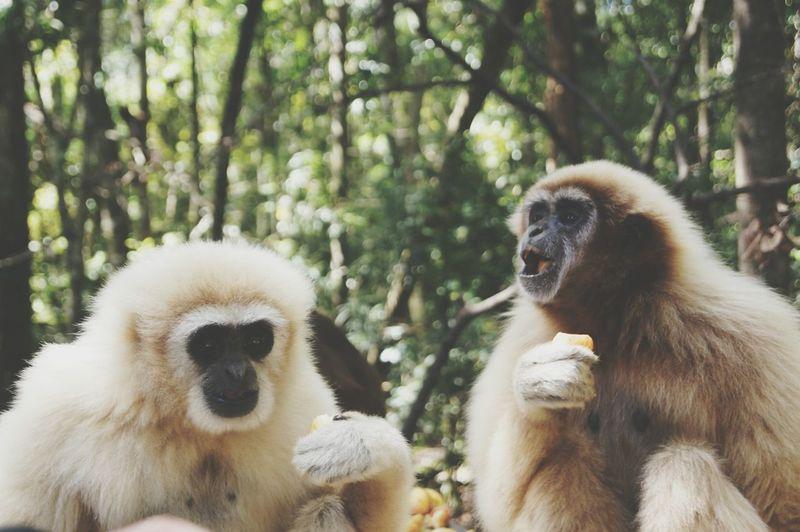 Gibbons at monkeyland, plettenberg bay, south africa