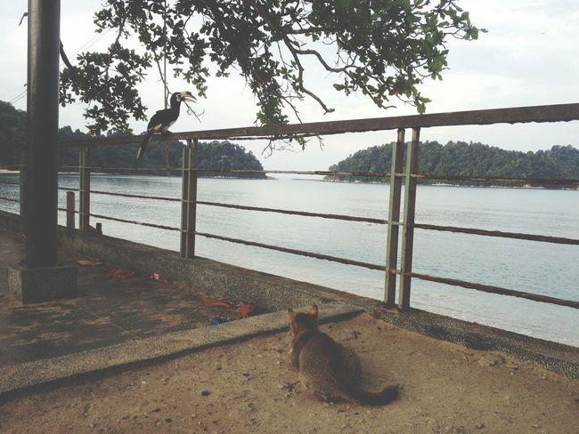 Hunter Cat Watching Toco Bird in Pangkor Malaysia South East Asia