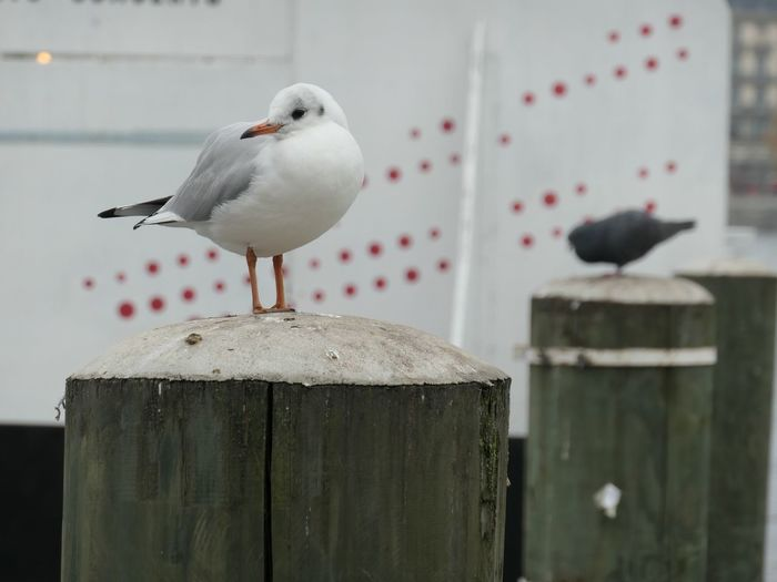 Contemplation EyeEm Selects Bird Animal Themes Animal Vertebrate Animal Wildlife Animals In The Wild Focus On Foreground Perching One Animal No People Seagull Day Close-up Wood - Material Outdoors Nature Post Dove - Bird White Color Mid-air