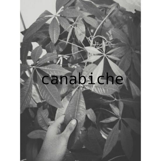 Canabis LOL