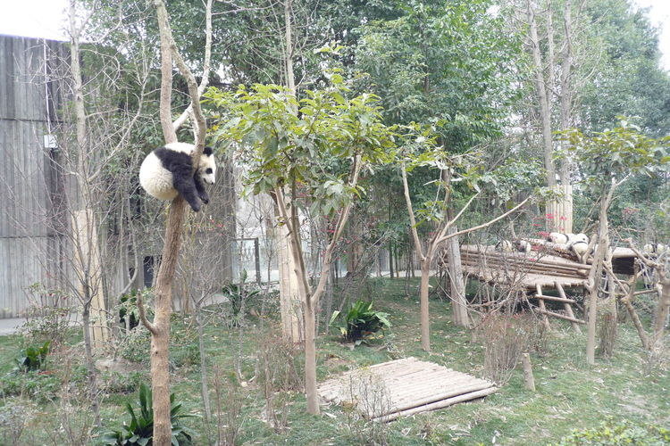 Panda PANDA ♡♡ Resting Animal Chengdu Tree