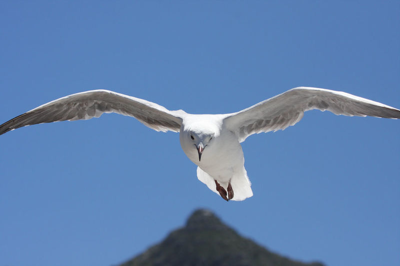 Animal Wing Animals In The Wild Beauty In Nature Bird Blue Clear Sky Flight Flying Low Angle View One Animal Seagull Spotting Spread Wings Watching Wildlife