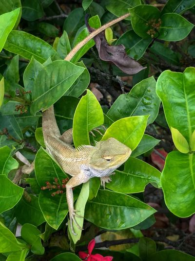 Oriental Garden Lizard - lazing around in the garden. Garden Lizard Long Tail Lazing Around Calotes Versicolor Oriental Garden Lizard Changeable Lizard October 2018 Leaf Plant Part One Animal Animal Animal Themes Animals In The Wild Animal Wildlife Lizard Reptile Vertebrate High Angle View Close-up Green Color Nature Plant Growth No People Day Outdoors Beauty In Nature