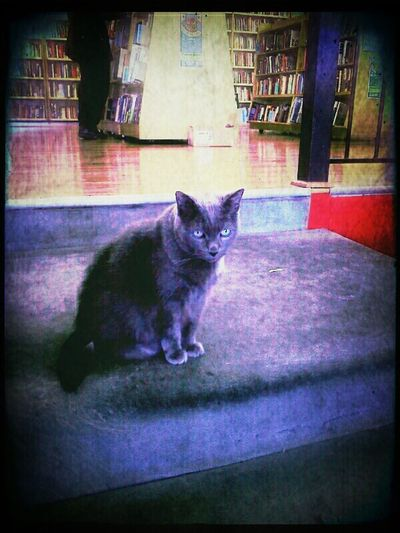 Bean thinks withering thoughts. Cat Bookstore