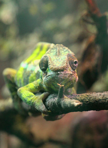 Animal Themes Animal Animal Wildlife Animals In The Wild Vertebrate Reptile Lizard Close-up Branch No People Nature Green Color Focus On Foreground Chameleon Outdoors Animal Body Part Animal Head  Fauna Of Madagascar Madagascar  Furcifer Pardalis Panther Chameleon Wildlife Nature Of Madagascar Madagascar Nature Africa