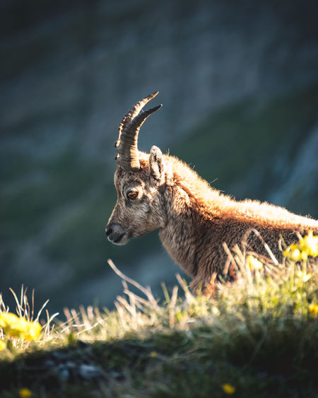 Alpine Young Animal Animal Head  Animal Themes Animal Wildlife Animals In The Wild Field Focus On Foreground Herbivorous Horned Ibex Land Looking Mammal Nature No People One Animal Outdoors Plant Selective Focus Side View Sunlight Vertebrate Warm Light