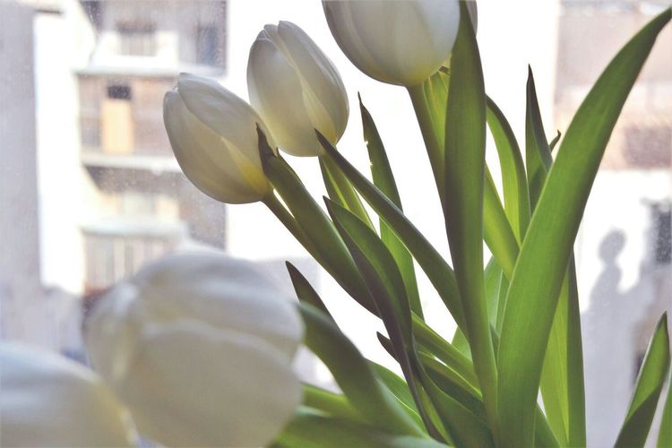 Tulips🌷 White Tulips Flower Collection Flower Photography Simplicity Daylight Window Light Romantic Rome