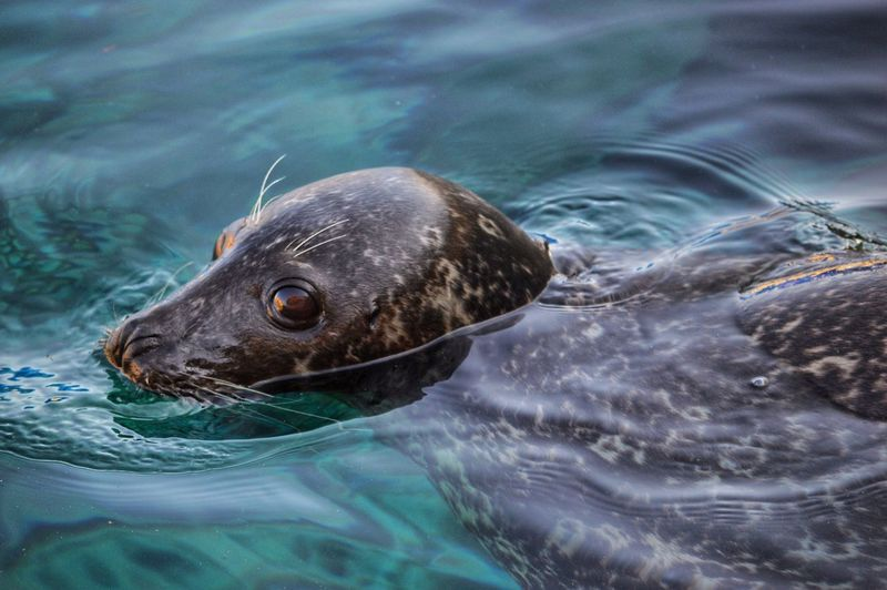 A glance Conservation Nature Photography EyeEm Nature Lover Wildlife & Nature Nikon Animal Themes One Animal Animal Water Animal Wildlife Animals In The Wild Mammal Swimming Sea Nature Sea Lion Seal - Animal Aquatic Mammal Underwater