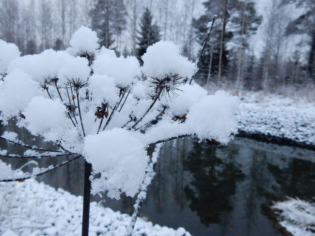 Cold Cold Temperature Frozen Nature Outdoors Plant Snow Snow Covered Water Winter