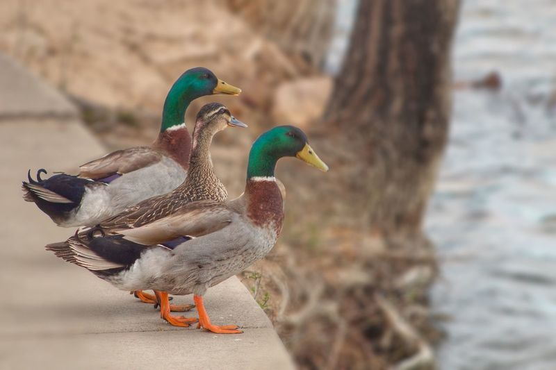 Mallard Ducks On Retaining Wall