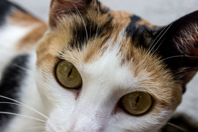 Alertness Animal Animal Eye Animal Head  Animal Themes Cat Close-up Domestic Animals Domestic Cat Feline Focus On Foreground Looking At Camera Mammal No People One Animal Pets Portrait Selective Focus Snout Whisker Whiskers White Zoology