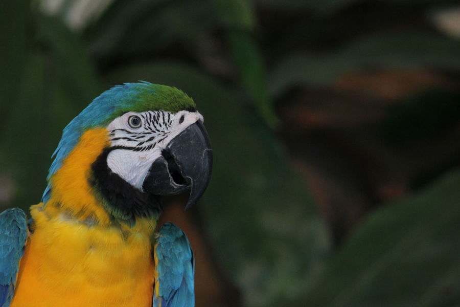 Animal Themes Animal Wildlife Animals In The Wild Beak Bird Close-up Day Gold And Blue Macaw Macaw Nature No People One Animal Outdoors Parrot
