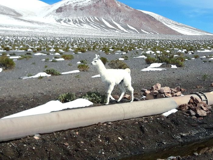Snow Cold Temperature Animals In The Wild No People Animal Themes Mountain Animal Wildlife Sky White White Animal White Lama