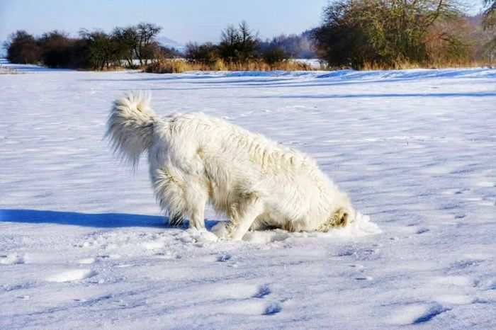 One Animal White Color Winter Animal Themes Snow Mammal Cold Temperature Polar Bear Nature Outdoors No People Day Domestic Animals Pets Full Length Animals In The Wild Beauty In Nature Love To Take Photos ❤ Love♥ Beautiful ♥