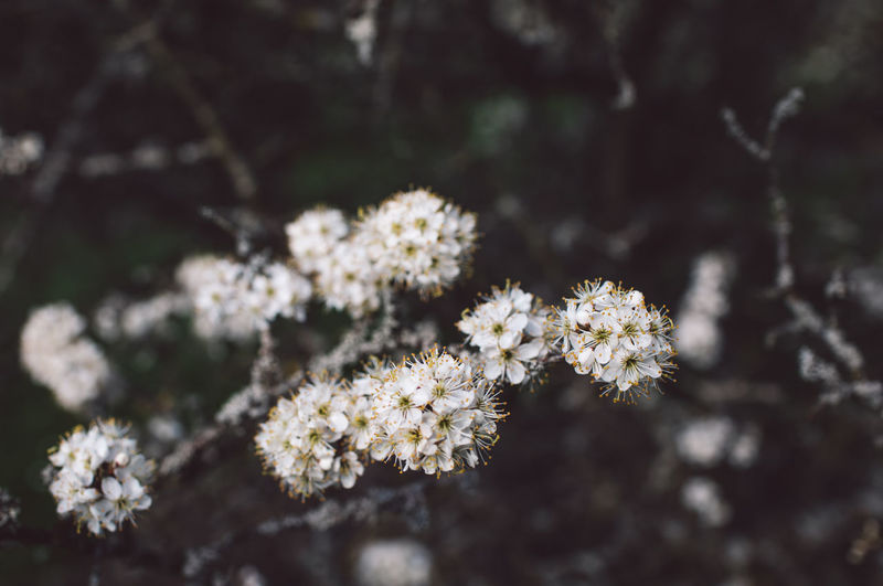 Flower Flowering Plant Fragility Plant Vulnerability  Freshness Beauty In Nature Nature No People Close-up Growth Day White Color Focus On Foreground Selective Focus Tree Outdoors Flower Head Springtime Blossom Softness Cherry Blossom Springtime Decadence