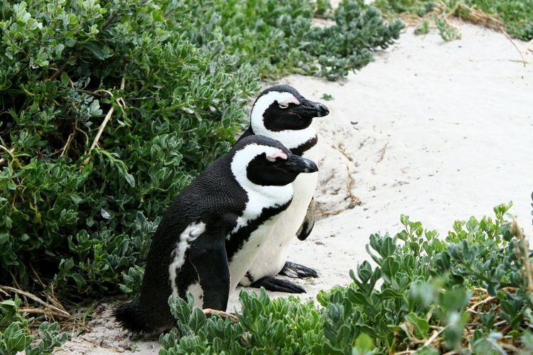 Sleepy African penguins on Boulders Beach in Cape Town, South Africa Black And White Animals Nature Scenic Cape Town African Penguin Africa South Africa Beach Sand Penguins Sleepy Animals Couple Plants Penguin Animals Close Up Outdoor Wildlife Wildlife Photography Snuggles Grass Animal Themes Plant Mammal Day Outdoors No People Nature Green Color Animal Wildlife