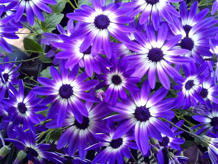 Flower Head Flower Osteospermum Petal Purple Backgrounds Close-up Blooming Plant In Bloom Plant Life Botany