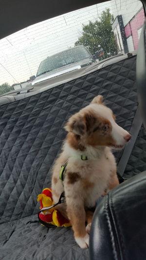 EyeEmNewHere ☄zelda☄ Dog Animal Themes Pets One Animal Sitting Day Drive Thru Maryloucoffee Such A Good Girl! Pet Portraits
