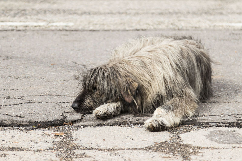A large light gray shaggy dog lies on an asphalt road and rests Asphalt Beautiful Natural Road Animal Themes Canine Close-up Cute Day Dog Domestic Animals Eyes Friend Furry Gray Guard Large Lies Looking Mammal One Animal Outdoors Pets Rests Shaggy