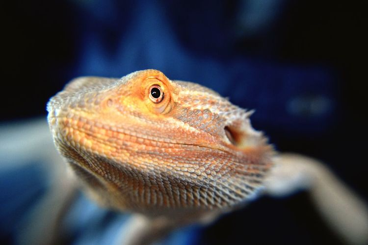 Atila Pets Lizard Dragon Cute Pets Pet Reptiles Bearded Dragon