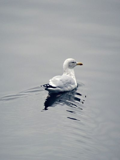 Young with grey blue nuances Young Black Heade Gull Water Reflection Bird Water Mouette Rieuse Young Adult Specimen Black Goggles Chroicephalus Ribundus Fauna Vintage Winter Feathering Aquatic Sea Ocean Black Headed Gray Headed Bird Water Swimming Animal Themes Close-up