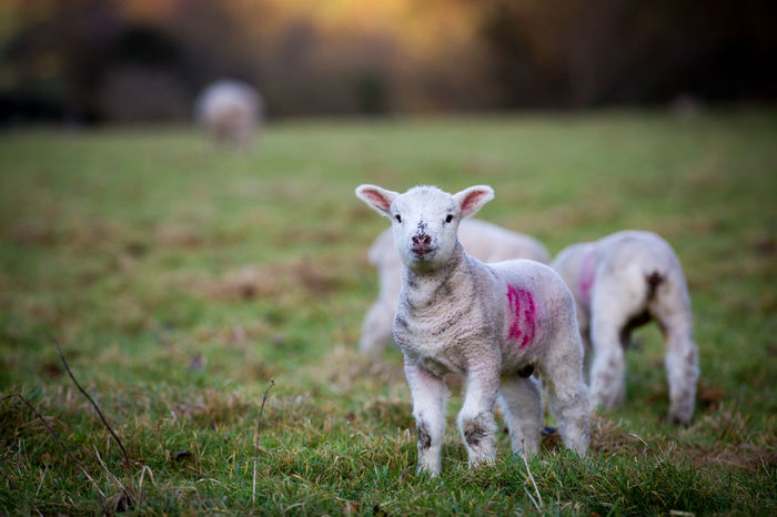 Animal Themes Baby Close-up Day Domestic Animals Field Grass Growth Lamb Lambing Lambs Lamp Lamps Landscape Looking At Camera Mammal Nature No People One Animal Outdoors Portrait Sheep