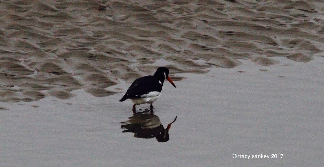 Beach Photography Birds Lone Bird Sand Water Reflections Wildlife Wildlife & Nature Wildlife Photography