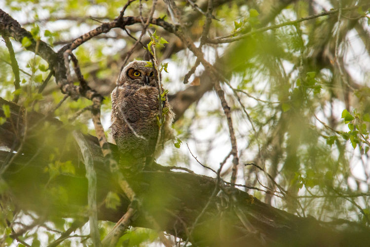 Great Horned Owl Animal Animal Themes Animal Wildlife Animals In The Wild Beauty In Nature Bird Branch Day Focus On Foreground Forest Low Angle View Nature No People One Animal Outdoors Owl Owls Owls💕 Perching Plant Selective Focus Tree Vertebrate