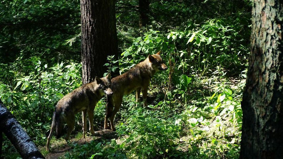 Wölfe im Wildpark Schwarze Berge. Animals