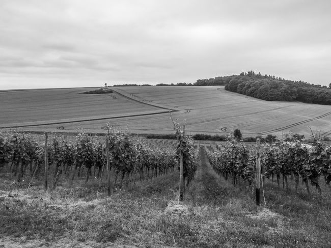 Agricultural Agricultural Land Agriculture Agriculture Photography B&w Black And White Blackandwhite Day Field Growth HuaweiP9 Huaweiphotography Landscape Nature No People Outdoors Rural Scene Scenics Sky Vine 🍷 Vines Vineyard