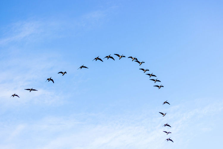 Low Angle View Of Flock Birds Flying Against Sky