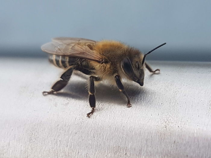 Bee Insect Close-up Animal Themes Animal Antenna Honey Bee Buzzing