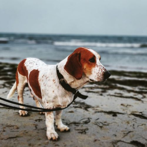 Dog standing on sand at beach against clear sky