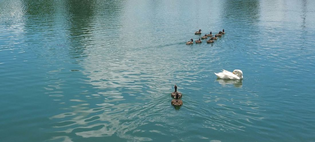Water Day Lake Nature Waterfront Outdoors Beauty In Nature Ducks In Water Ducks Ducks Swimming Ducks In The Lake