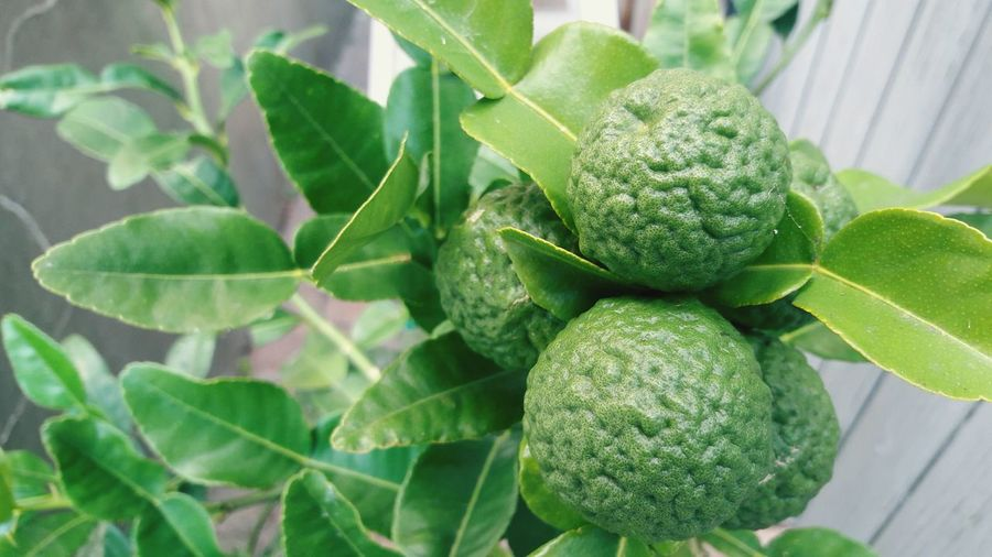 Fresh green bergamot are growing on the bergamot tree